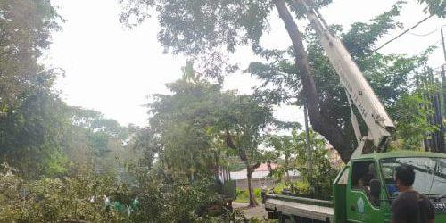 Rawan Tumbang, DLHK Denpasar Lakukan Perompesan Pohon Perindang