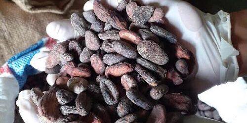 Punya Aroma Khas, 1 Ton Biji Kakao Organik Fermentasi Jembrana Siap Dikirim ke Jepang