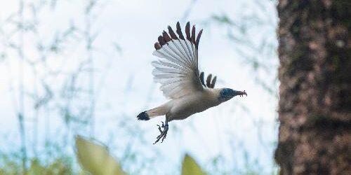 """""""Melindungi dari Kepunahan"""", Yayasan Begawan Lepasliarkan Sepasang Burung Jalak Bali"""